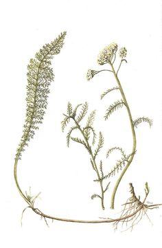 Achillea millefolium, Common Name: Yarrow, Artist: Lesley Steel