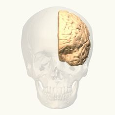 Human Biology science project Animation of the motor cortex in the brain. Anterior Cingulate Cortex, Brain Science, Brain Gym, Kid Science, Lobe Occipital, Area 47, Lobo Frontal, Primary Motor Cortex, Rouge