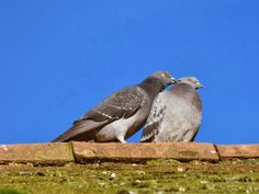 Nature from my window: Pigeons amoureux (Pigeons in love)