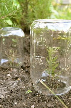 What a great idea! The jars make the garden look pretty too. Growing Lavender and Rosemary from cuttings.