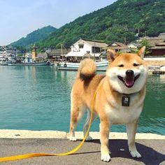 Smiley Red Shiba Inu.