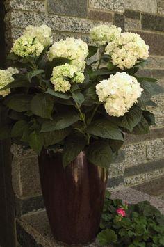 Hydrangea Tree, Blue Hydrangea, All Plants, Live Plants, Blushing Bride Hydrangea, Easy To Grow Houseplants, Endless Summer Hydrangea, Popular Flowers, Low Maintenance Plants