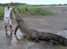 Picture Largest Alligator Captured | Drift Drift :]: Lolong: The Largest Salt-Water Crocodile Ever Caught