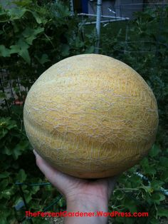 Grow Cantaloupe Vertically And Get A Lot of Tasty Fruit From A Small Footprint – The Fervent Gardener Planting Cantaloupe, Growing Cantaloupe, Footprint, Christmas Bulbs, Tasty, Fruit, Vines, Gardening, Christmas Light Bulbs