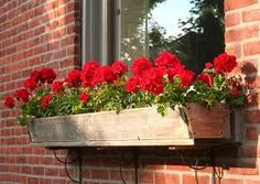 geranium window box