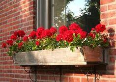 geranium window box