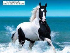cavalo campolina marcha picada homozigoto - coberturas