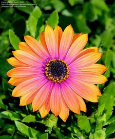 Osteospermum (African Daisy, Cape Daisy 'Astra Sunset Purple') is a genus of flowering plants belonging to the Calenduleae, one of the smaller tribes of the sunflower/daisy family Asteraceae.