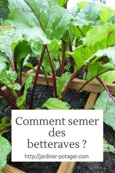 Comment semer des betteraves ?   http://jardiner-potager.com