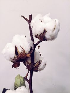 See more of ivlena's content on VSCO. Cotton Plant, Botanical Flowers, Seed Pods, Mother Nature, Design Projects, Planting Flowers, Art Photography, Character Design, Flower Paintings
