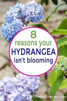 Hortensia Hydrangea, Hydrangea Bloom, Hydrangea Care, Hydrangea Not Blooming, Hydrangea Flower, Blooming Flowers, Hydrangea For Shade, Hydrangea Diseases, Landscaping