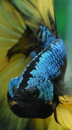 A list of all the types of Betta fish and the unique characteristics of each fish type! Betta Fish Types, Betta Fish Care, Colorful Fish, Tropical Fish, Aquariums, Salt Water Fish, Cool Fish, Beta Fish, Freshwater Aquarium Fish