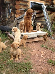 That's a big litter of puppies O_o Big Dogs, I Love Dogs, Cute Dogs, Dogs And Puppies, Doggies, Dogs 101, Dogs Golden Retriever, Golden Retrievers, Orange Kittens