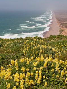 https://flic.kr/p/c1tbCq | Yellow Bush Lupine (Lupinus arboreus) | Point Reyes National Seashore Marin County, CA
