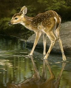 One of my paintings that will be a part of the Adirondacks National Exhibition of American Watercolors in New York. Refreshment - Whitetail Fawn watercolor on board Rebecca Latham Enjoy!
