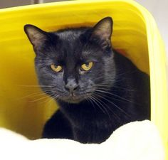ADOPTED>Intake: 4/30 Available: Now  NAME: Pepper  ANIMAL ID: 31046521 BREED: DSH  SEX: Neutered Male  EST. AGE: 5 yrs  Est Weight: 10.10 lbs Health: Combo negative  Temperament: Friendly ADDITIONAL INFO:  RESCUE PULL FEE: SPONSORED