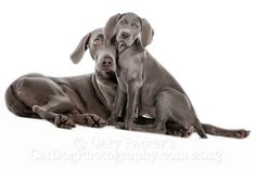 WEIMARANERS POSE NICELY FOR FAMILY PORTRAITS...