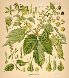 Image of Illustration of HUMULUS Lupulus L. (with links to a BUNCH more illustrations of other medicinal plants) Illustration Botanique, Botanical Illustration, Wedding Illustration, Illustration Styles, Nature Illustration, Hops Plant, Beer Hops, Nature Posters, Medicinal Plants