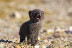 arctic fox pup howling.