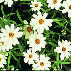 Zinnia White Star-seeded today!
