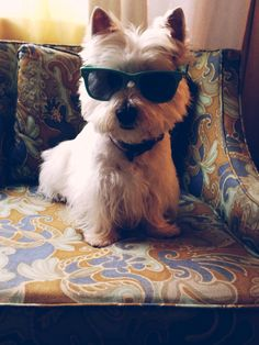 Kenna, west highland white terrier Note: westies must love dressing up, I see so many pictures like this.