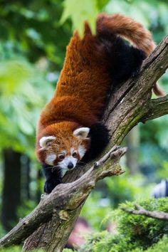 Red Panda <3