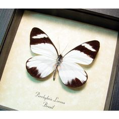 Perrhybris Lorena the Rain Forest Real Framed Butterfly 8362 ($40) ❤ liked on Polyvore featuring home, home decor and wall art