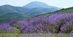 Lavender Farm Tour