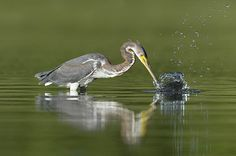 Tricolored Heron - Egretta tricolor Copyright Paul Sterry/Nature Photographers Ltd