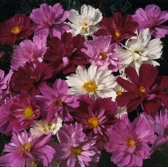 Pase Seeds - Cosmos Psyche Mix Annual Seeds, $3.49 (http://www.paseseeds.com/cosmos-psyche-mix-annual-seeds/)