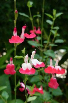 Salvia microphylla cherry sage
