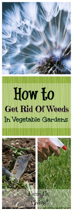Everything you need to know about how to get rid of weeds in vegetable gardens | Controlling weeds in the vegetable garden | Natural Ways to Control Weeds | Using Vinegar to Control Weeds