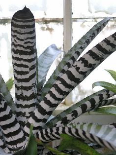 almost black and white bromeliad
