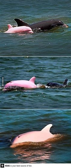 Did you know albino dolphins are pink?