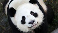 Bildergebnis für panda