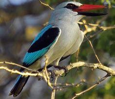 Halcyon senegalensis (Woodland kingfisher)               Bosveldvisvanger