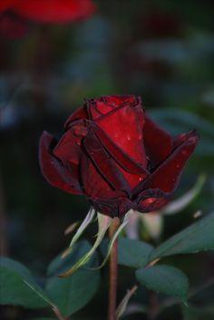rosa vermalha