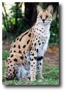 Savannahs are a new breed, a hybrid cross of African Serval & domestic cat.