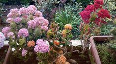 Saksı çiçeklerimin içinde önemli yer tutan Sardunyalarımın devamı...