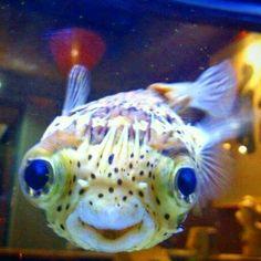 #nature #photography #aquariums #fish #pufferfish #fishtanks