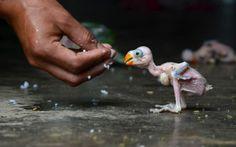 INDE, Dimapur. Un perroquet indien qui vient d'éclore est alimenté à la main, le 24 juillet 2013, après avoir été capturé dans une forêt par...