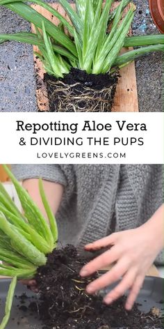 How to repot aloe vera plants and divide their pups. Aloe vera plants often produce masses of babies. Use these tips to divide them from the parent plant and get more plants for free. Full DIY video included #lovelygreens #houseplants #aloe...