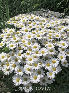 Monrovia's Snow Lady Shasta Daisy details and information. Learn more about Monrovia plants and best practices for best possible plant performance.
