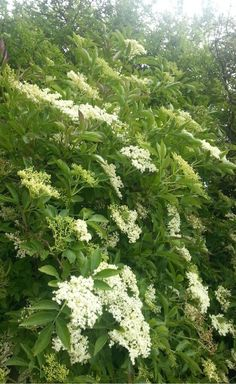 Elderflower: Attracts black Aphids, then they don't go on your other plants. Nettles (in a quiet corner) attract green Aphids (and are good as a tea, in soup, or as a hair rinse). Moon Garden, Dream Garden, Trees And Shrubs, Trees To Plant, Edible Plants, Elderflower, White Gardens, Back Gardens, Summer Garden