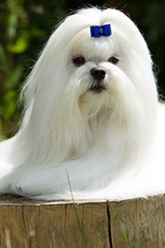 Looking for a small dog breed that doesn't shed or bark? Just bear in mind that all dogs will bark on occasion and that most breeds will shed at least somewhat. However, many small breeds are naturally quiet and either shed minimally or don't shed at all.