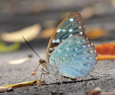 Ventral view of a Yellow Archduke (Lexias canescens) photographed by cukedemon in Thailand on 5th March 2011
