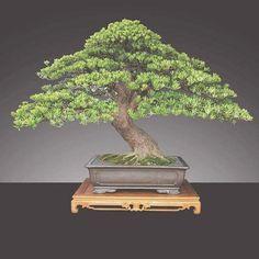 #bonsai Bonsai Art, Bonsai Garden, Bonsai Trees, Single Tree, Live Plants, Aquarium, Home And Garden, Gardening, Animation