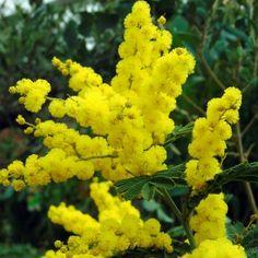 Cut Flowers, Yellow Flowers, Acacia Dealbata, Conservatory Plants, Tree Stakes, Savage Garden, Evergreen Trees, Plantation, Flower Show