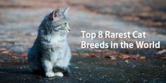 Top 8 Rarest Cat Breeds In The World