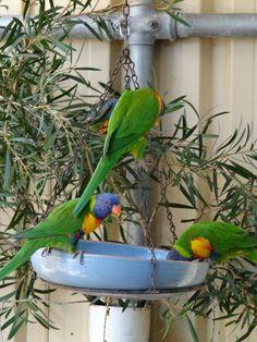 Rainbow Parakeets, Bunbury Wildlife Park, WA Wildlife Park, Parakeets, Western Australia, Parrot, Rainbow, Bird, Parrot Bird, Rain Bow, Parakeet